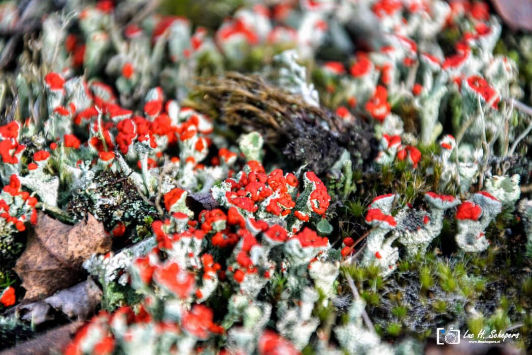 Rode Heidelucifer Lucifer mos